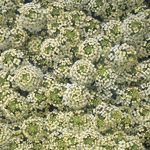 ALYSSUM WONDERLAND CITRON