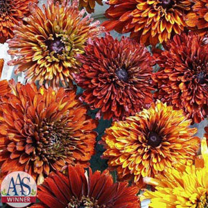 Cherokee Sunset Mix Rudbeckia