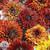 Cherokee Sunset Mix Rudbeckia