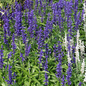 Victoria Blue Salvia- Mealy-Cup Sage