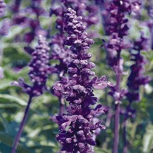 Evolution Violet Salvia Mealy-Cup Sage