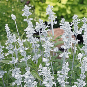 Evolution White Salvia Mealy-Cup Sage