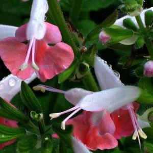50 Seeds Salvia Texas Sage Snow Nymph FLOWER SEEDS