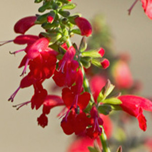 Hummingbird Lady In Red Salvia