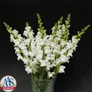 Rocket White Snapdragon