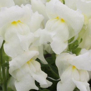 Floral Showers White Snapdragon