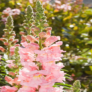 Maryland Shell Pink Snapdragon