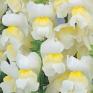Maryland White / Yellow Bi-Color Snapdragon