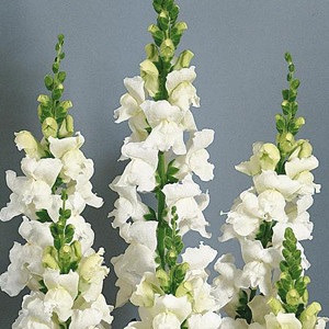 Animation White Snapdragon