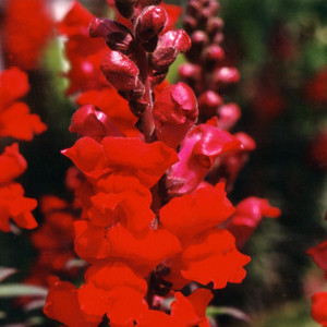Animation Red Snapdragon