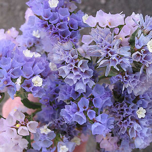 Statice Seeker Pastel Blue