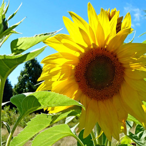 Mammoth Grey Stripe Sunflower