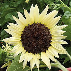 Moonshadow Sunflower