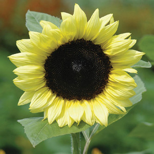 Pro Cut Lemon NT Sunflower