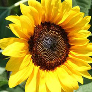 Pro Cut Brilliance Sunflower