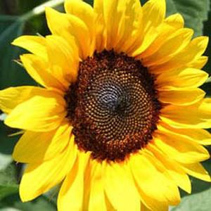 Pro Cut Brilliance Sunflower