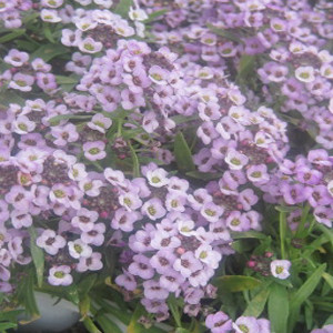ALYSSUM SEEDS WONDERLAND LAVENDER