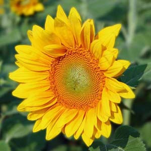 Pro Cut Gold Sunflower