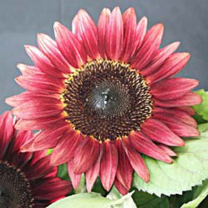 Pro Cut Red Sunflower