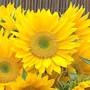 Sunrich Gold Sunflower