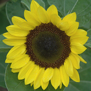 Sunrich Lemon Sunflower