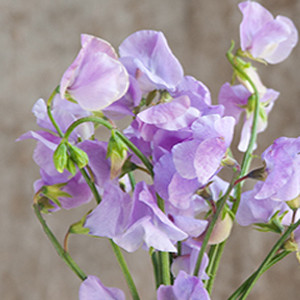 Sweet Pea Elegance Lavender
