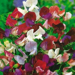 Sweet Pea Old Spice Mix