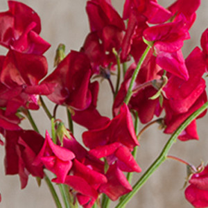 Sweet Pea Elegance Deep Rose