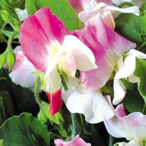 Sweet Pea Villa Roma White With Rose