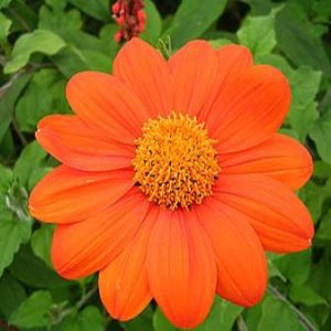Tithonia-Mexican Sunflower