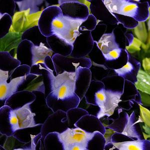 Torenia Kauai Deep Blue Wishbone Flower