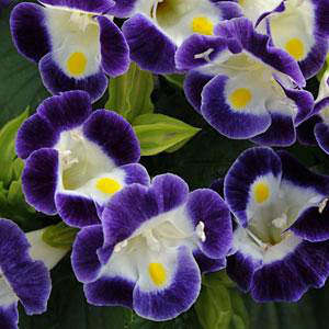 Torenia Kauai Blue and White Wishbone Flower