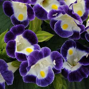 Torenia Kauai Blue and White Wishbone Flower