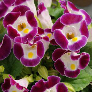 Torenia Kauai Burgundy Wishbone Flower
