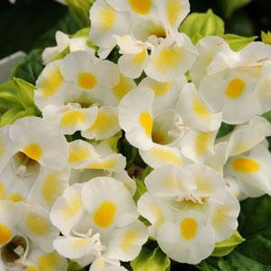 Torenia Kauai Lemon Drop Wishbone Flower