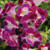 Torenia Kauai Magenta Wishbone Flower
