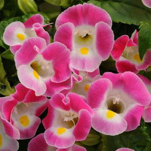 Torenia Kauai  Rose Wishbone Flower