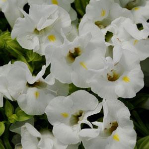 Torenia Kauai White -Wishbone Flower