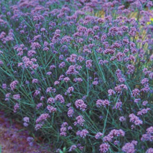 Verbena Bonariensis Finesse