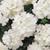 Verbena Quartz XP White