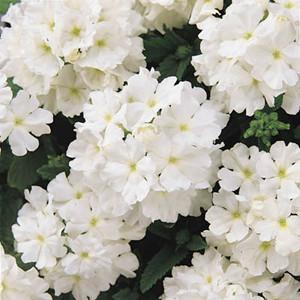 Verbena Seeds Quartz XP White 50 Seeds Flower Seeds