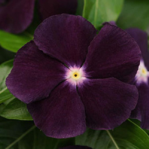 Jams 'N Jellies Blackberry Vinca