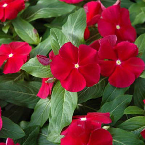 Pacifica XP Cranberry Vinca