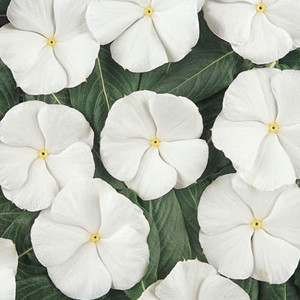Pacifica XP White Vinca