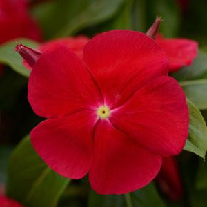 Titan Really Red Vinca
