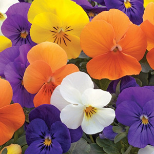 Penny All Seasons Mix Viola