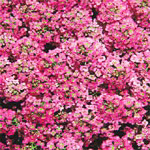 ALYSSUM SEEDS WONDERLAND DEEP PINK