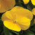 Penny Clear Yellow Viola