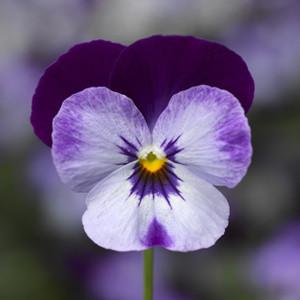 Penny Denim Viola