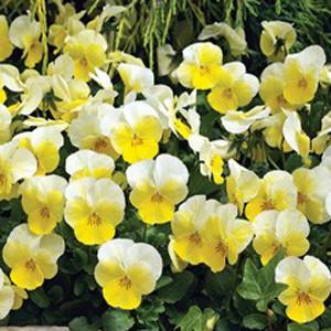 Penny Primrose Bicolor Viola